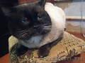 Сиамские котята старого  типа. ( кругло-мордые )