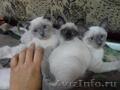 тайские - котята . .
