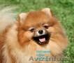 Красивые щенки померанского шпица