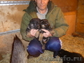 Щенки немецкой овчарки умнички