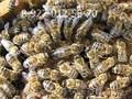 Пчелопакеты - Карпатка.