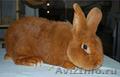 Продаем кроликов породы Новозеландская красная