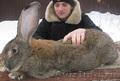 Продажа Кроликов-гигантов породы: Фландр,  Ризен,  Обер,  Немецкий пестрый.
