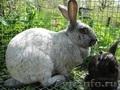 Продажа племенных кроликов серебристой породы