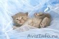 Британские короткошёрстные котятаот питомника