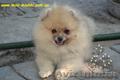 Карликовые эксклюзивные щеночки померанского шпица vip-classa! - Изображение #4, Объявление #765971