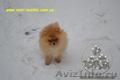 Карликовые эксклюзивные щеночки померанского шпица vip-classa! - Изображение #5, Объявление #765971