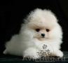Карликовые эксклюзивные щеночки померанского шпица vip-classa! - Изображение #3, Объявление #765971