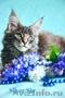 Котенок мейн-кун окрас голубой мрамор. От титулованных родителей.  Питомник Mila