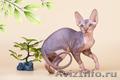 Волшебный котёнок сфинкс. - Изображение #4, Объявление #1259925