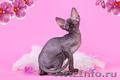 Волшебный котёнок сфинкс. - Изображение #2, Объявление #1259925