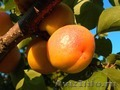 Продаю саженцы Абрикосов морозостойких - Изображение #3, Объявление #1316804