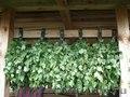 продам веники для бани (дуб,липа, берёза) - Изображение #3, Объявление #1495940